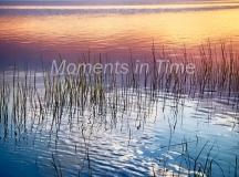 Shimmering-Reeds
