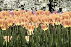 Tulip Lanterns