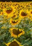 Sunny_Fields